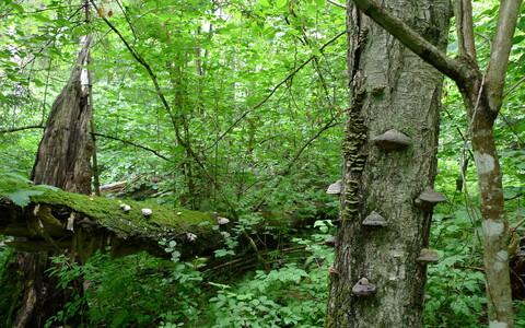 Kambja vääriselupaik. Ehe näide vanast metsast.
