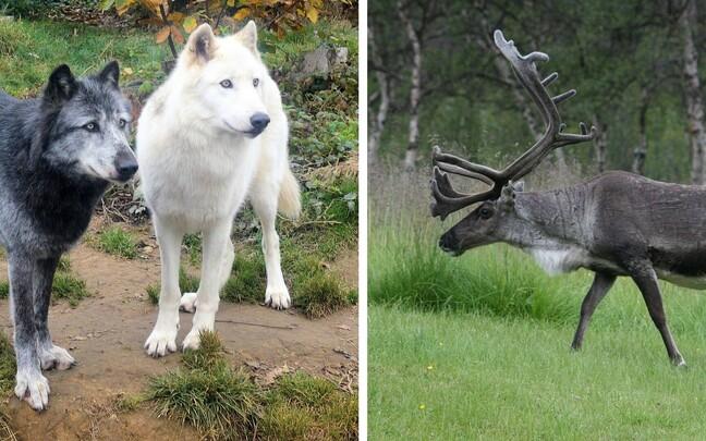 Kõige rohkem liikusid põhjapõdrad ja hundid.