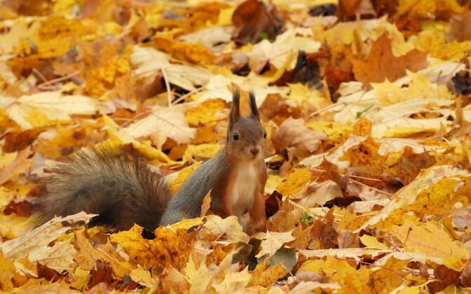 Eesti orav