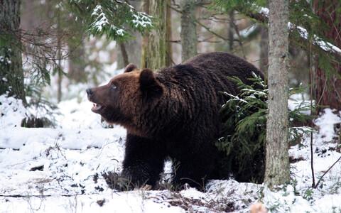 Ehtne Eesti karu.