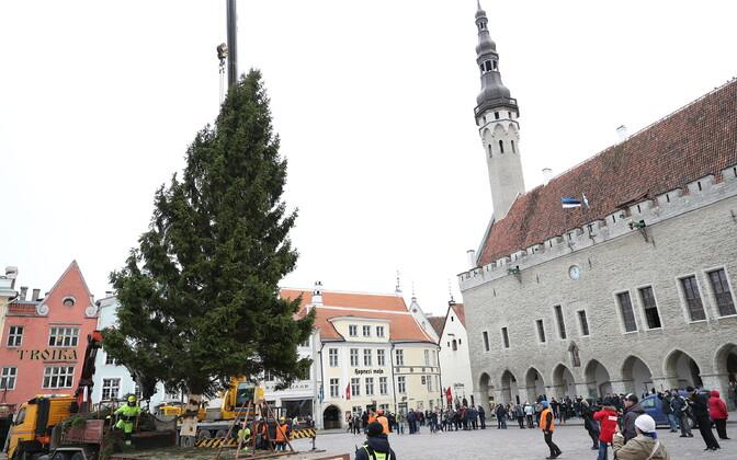 Главная рождественская елка Таллинна выросла в Хааберсти на улице Рыйка.