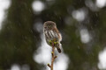 Estonian wildlife, here, a Pygmy, Owl, prepares for winter.