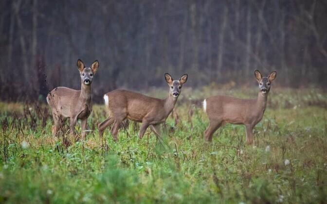 Roe Deer.