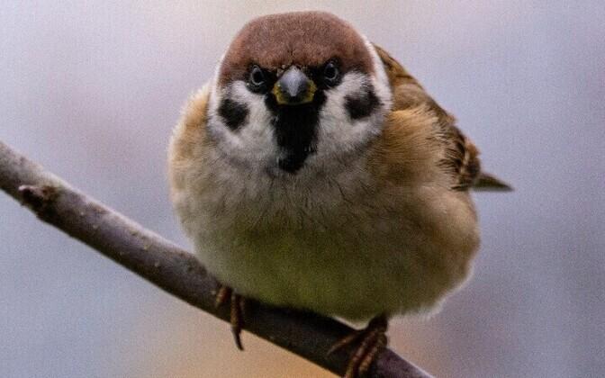 field sparrow in Lahemaa