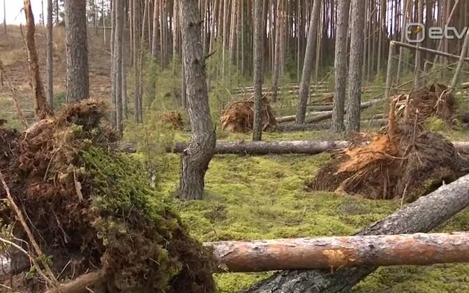 Поваленный лес.