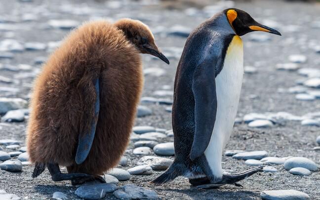 Kui  temperatuur tõuseb tööstusrevolutsiooni eelse ajastuga võrreldes kaks kraadi kõrgemaks, siis langeb keiserpingviinide arvukus 44 protsenti.