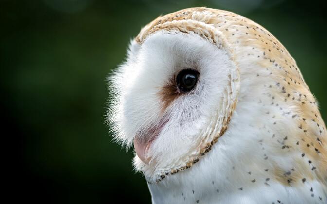Heledat tooni loorkakk (Tyto alba).