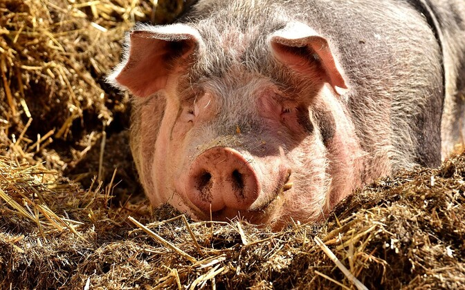 Фермеры не знают, что делать с животными, так как скотобойни отказываются принимать свиней с ферм, где была найдена сальмонелла.