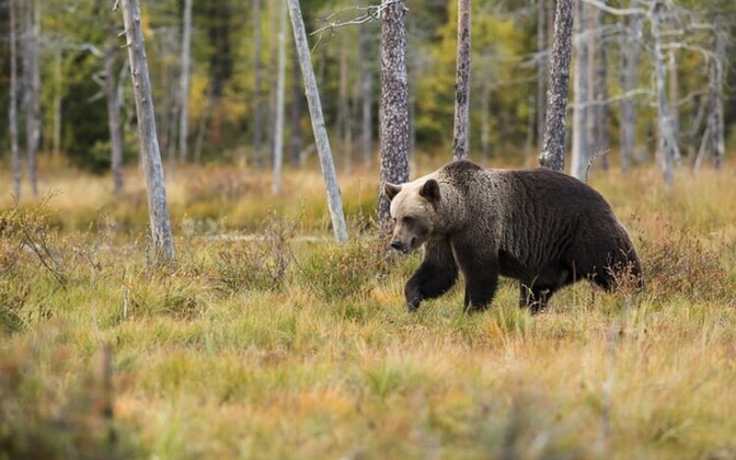 Brown bear in a forest.