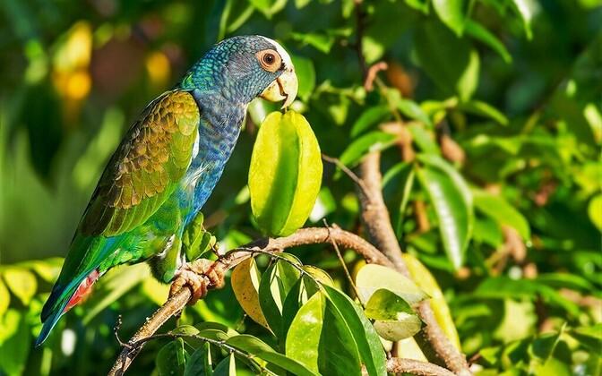 Kesk-Ameerikas elav laukpapagoi on papagoide seas üks suuremaid raiskajaid.