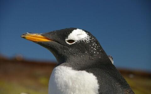 Viimastel aastakümnetel on eeselpingviinid hakanud hiilgevähkide kõrval sööma rohkem ka muud toitu.