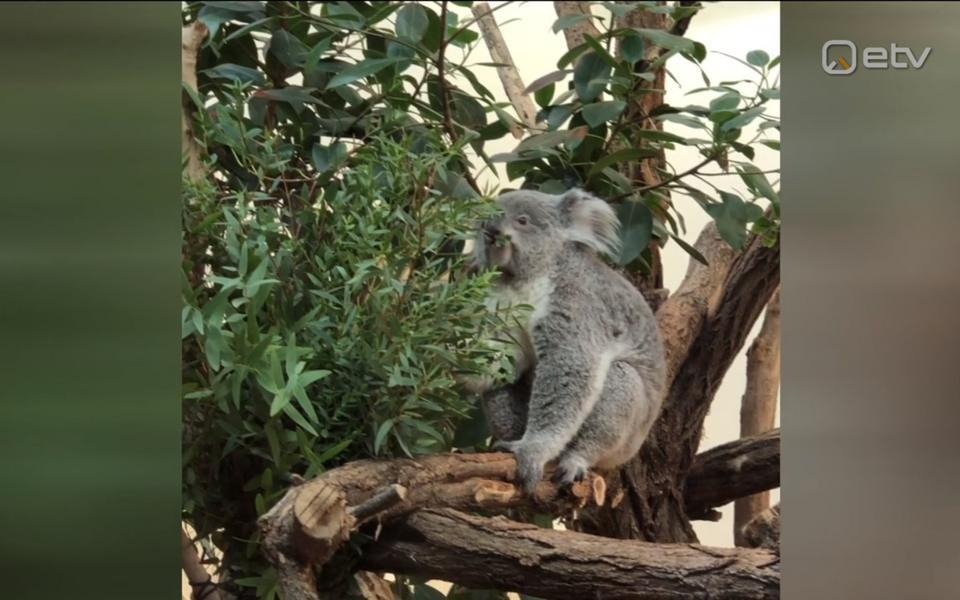 Ott Leplandi filmitud koaalakaru.