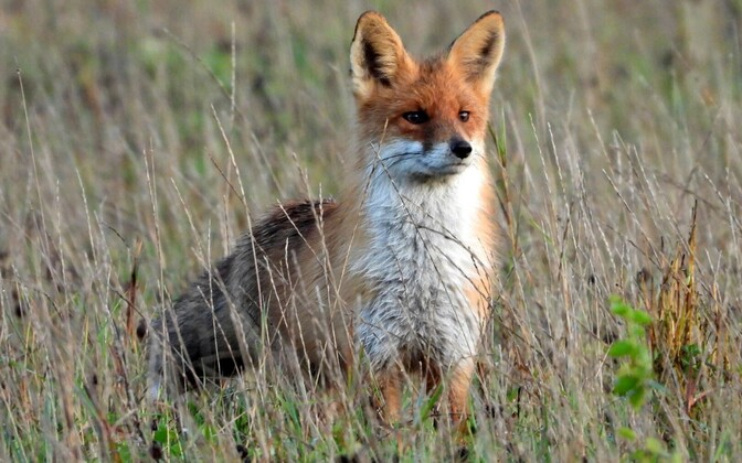 Foxes are a known vector for rabies. If in doubt, stay away or go to the nearest emergency room if bitten.