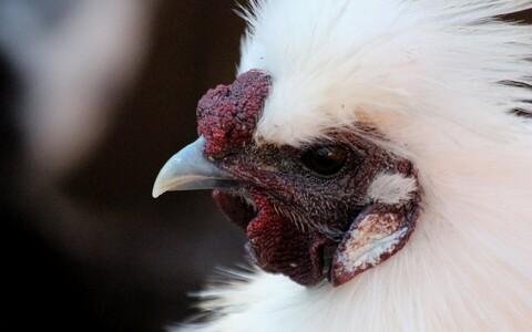 Китайская шелковая курица. Иллюстративная фотография.