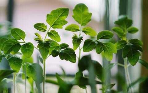 Teadlased tegid katseid tubaka- ja tomatitaimedega.