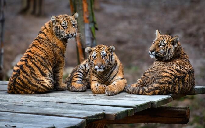 Тигрята Боцмана - Самба, Ума и Нану.