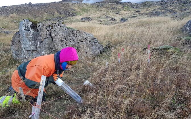 Käesoleval sügisel paigaldas Tartu Ülikooli doktorant Biplabi Bhattarai Islandi mulda uued läbipaistvad torud, millesse sisestatakse kaamera. Nii jälgitakse järgmise kahe aasta jooksul juurte kasvu.