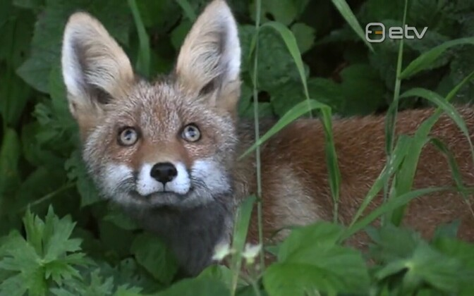 A fox (picture is illustrative).