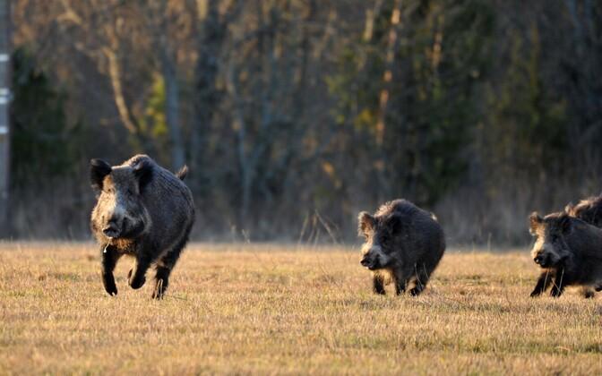 Wild boar in Muhu.