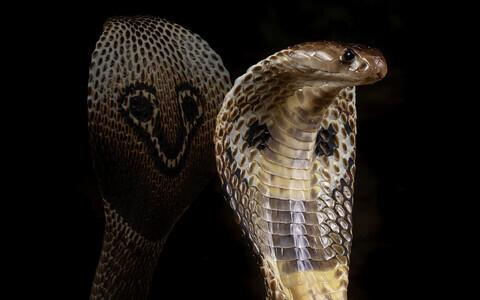 India kobra (Naja naja).