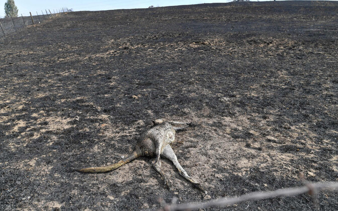 Hukkunud känguru New South Walesi osariigis.