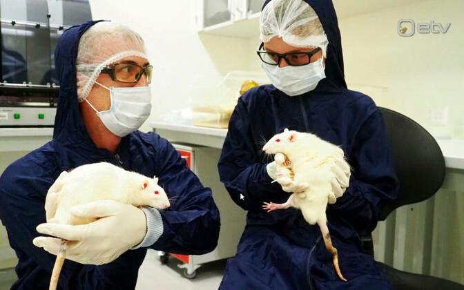 Благодаря генетически модифицированным крысам стало возможно детальное описание синдрома Вольфрама и испытание на них лекарства.