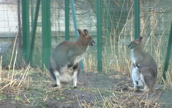 Red-neck wallabies at Tallinn Zoo