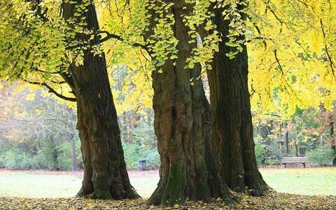 Hõlmikpuu Belgias.