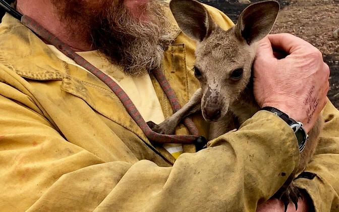 Спасенный в лесном пожаре кенгуру.