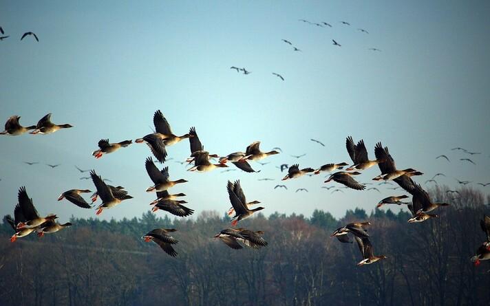 Перелетные птицы. Иллюстративная фотография