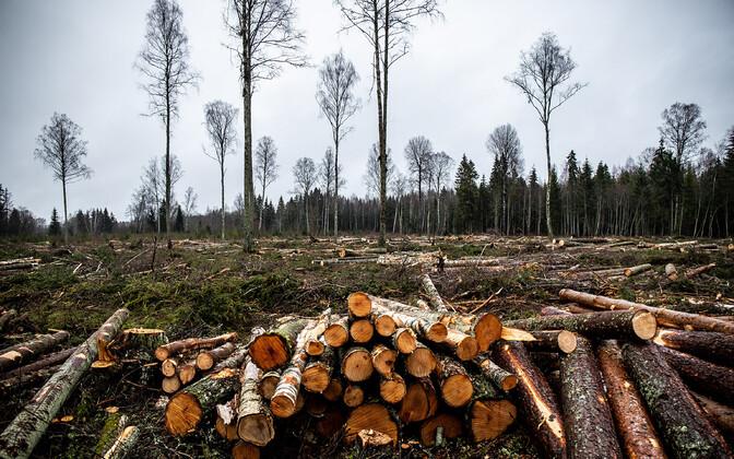 Esimese kuue raiejärgse aastaga võib kaotada uuringu põhjal puude kõrguskasvus kaotada kaks kuni kolm aastat