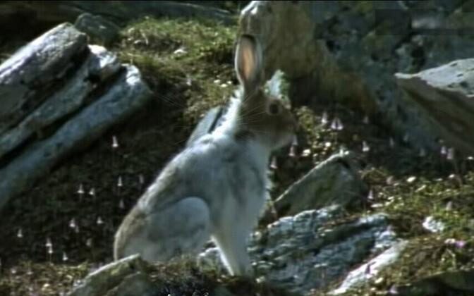 Заяц в бесснежном лесу.