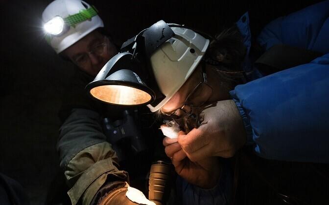 Nahkhiireuurija Lauri Lutsar uurib nahkhiire vanust. Lauri Klein aitab nahkhiirt valgustada. Uuring toimub riikliku seire käigus.