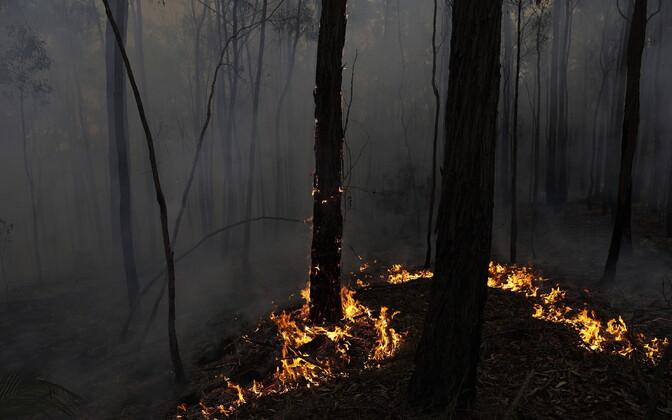 Põlev mets Austraalias.