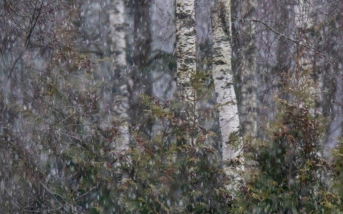 Birch trees in snowy weather.