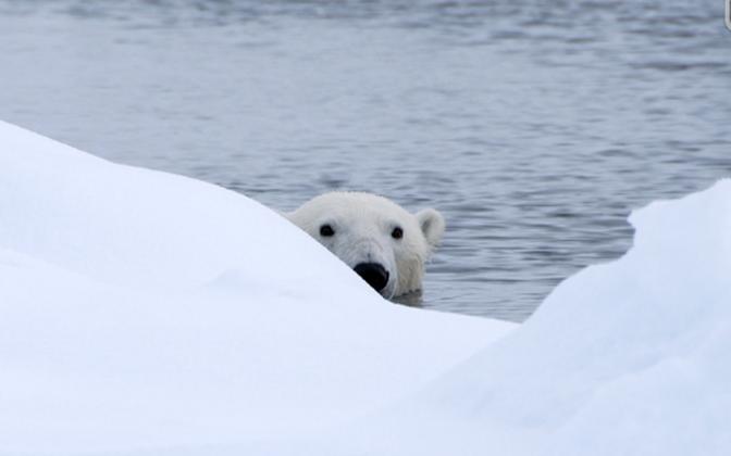 В Красную книгу России занесены все популяции обитающего на территории страны белого медведя. Иллюстративная фотография.