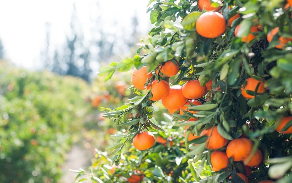 Teadlased arvutasid välja, kui palju kasvuhoonegaase satub atmosfääri, kui apelsine istandusest poodi vedada.