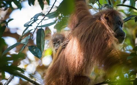 Gorilladel ja orangutanidel valitses ajus inimlik ebasümmeetria.