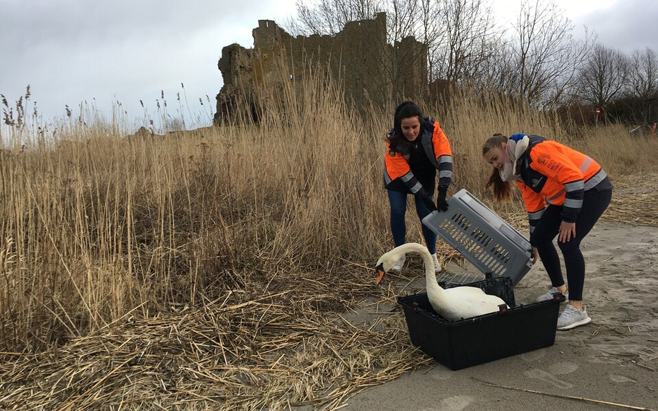 Защитники природы выпустили спасенного лебедя возле замка Тоолсе.