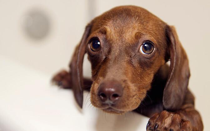 Koer teatakse olevat esimene loom, kelle inimene kodustas.
