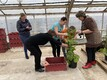Early potato cultivation tests in a Estonian Crop Research Institute greenhouse in Jõgeva.