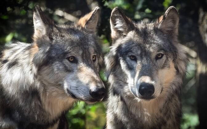 Eurasian wolves.