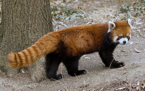 Punane panda kui senise arusaama järgi üksainus liik on Rahvusvahelise Loodushoiuliidu määratluse järgi arvatud ohustatud liikide hulka.