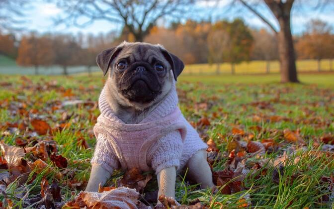 Sagedamini levitavad siseparasiite just väiksemad koerad.
