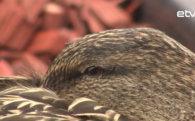 Тартуская утка собиралась в очередной раз вывести потомство в цветочном горшке, но ей помешали.