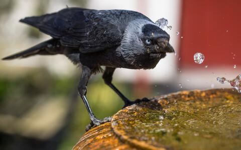 Linnud ei väldi alkoholi ilmselt selle kõrge energiasisalduse tõttu.