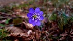 Loodus, sinilill