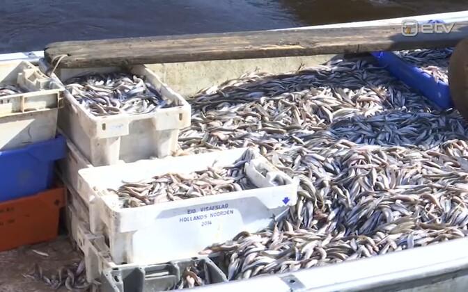 Пярнуские рыбаки активно ловят корюшку, но весь улов им приходится отправлять сразу в холодильники.
