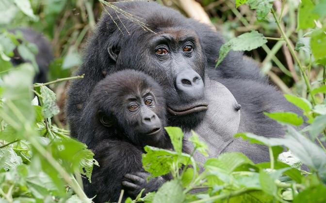 Gorillapere ja Gordon
