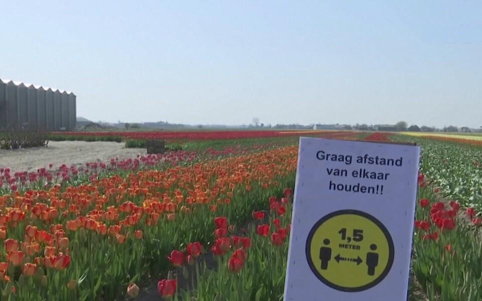 Тюльпаны в Нидерладах.